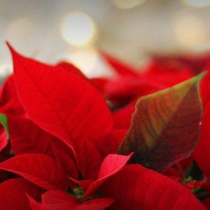 Arrangement floral pour Noël